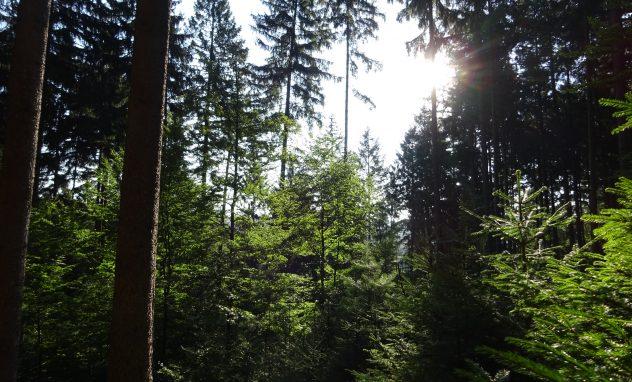 Blick in günen Nadelwald